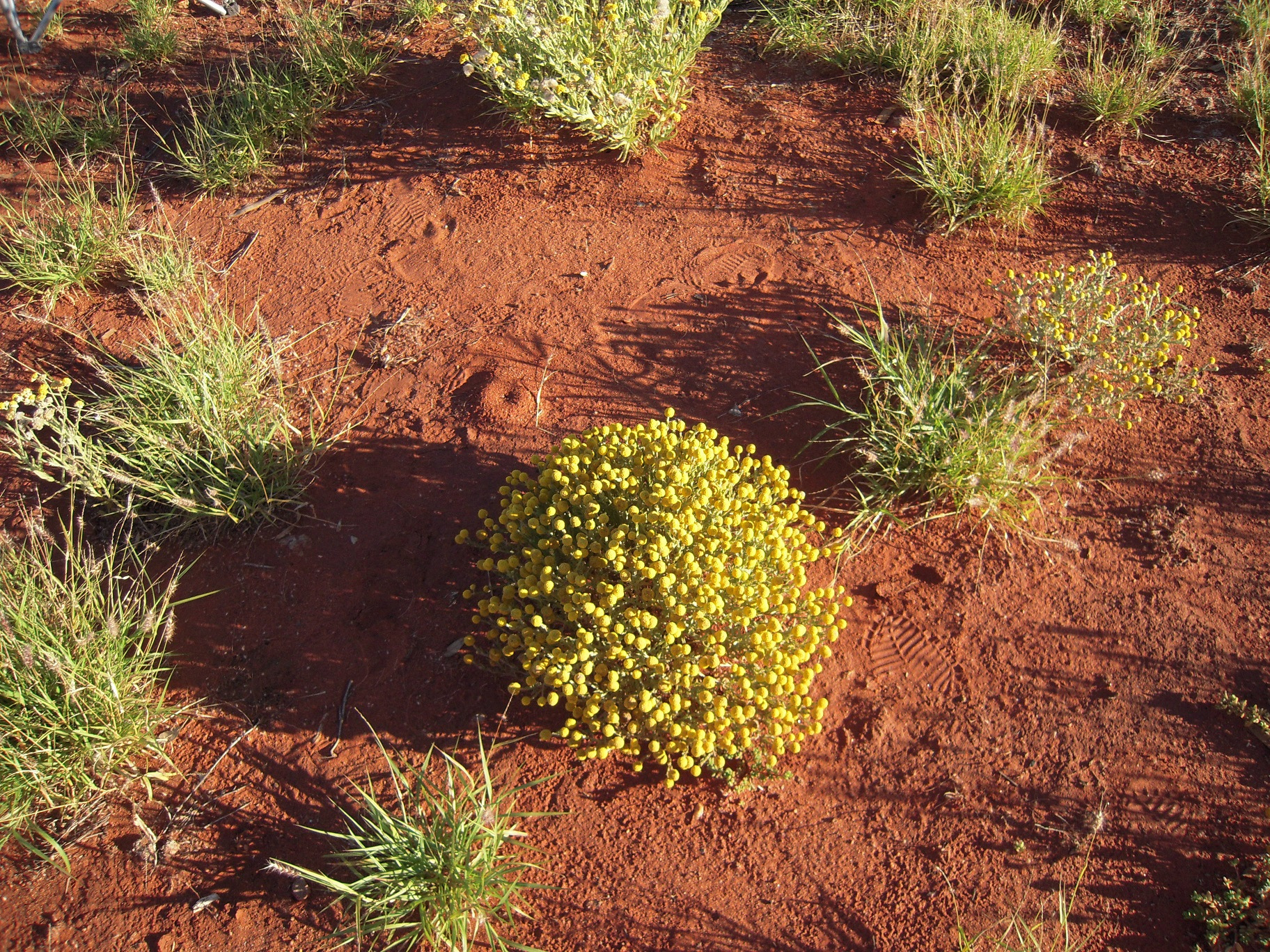 2. Flora Ampilatwatja